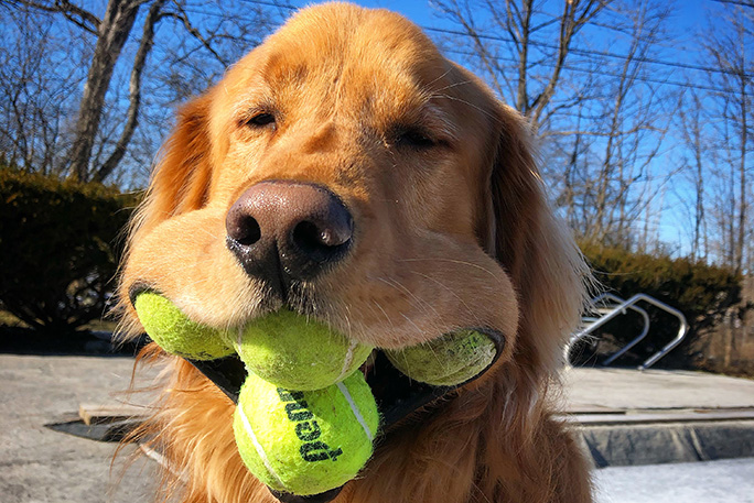 Most tennis balls held in the mouth by a dog2